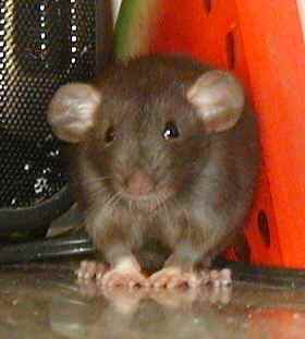 Dumbo Rat Picture, Courtesy of the Rat Lady (Katie O.)