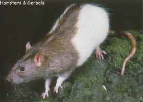 Hooded Rat Picture