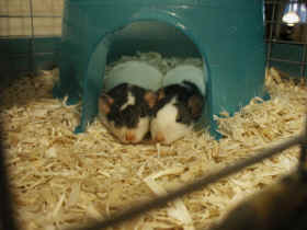 Picture of Oscar and Fred, Roan rats, supplied by Laura